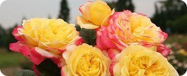 Купить букет из 9 роз