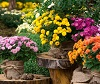 Невероятная история хризантемы