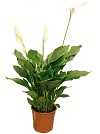 Цветок Spathiphyllum