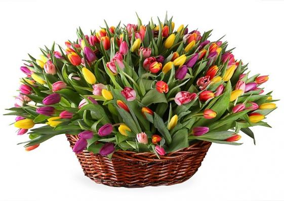 251 тюльпан в большой корзине